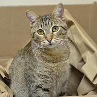 Domestic Shorthair Cat for adoption in Atlanta, Georgia - Charlize162020