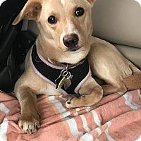 Adopt A Pet :: Cocoa - Astoria, NY