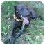 Photo 2 - Greyhound Mix Dog for adoption in Charleston, Arkansas - Alex Greyhound