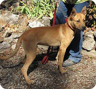 Australian Cattle Dog/Shepherd (Unknown Type) Mix Dog for adoption in Oakland, Arkansas - Charlie