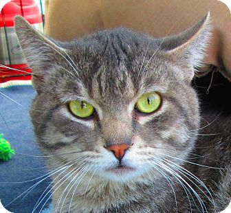 Domestic Shorthair Cat for adoption in Winchester, California - Tiger