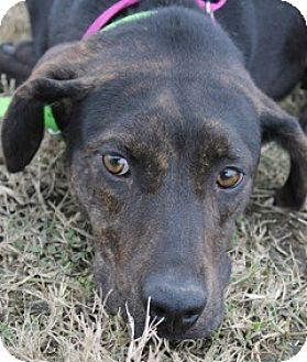 Hound (Unknown Type) Mix Dog for adoption in New Roads, Louisiana - Shy Tara