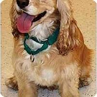 Adopt A Pet :: Buster - Gilbert, AZ