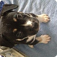 Adopt A Pet :: Smore - Dallas, TX