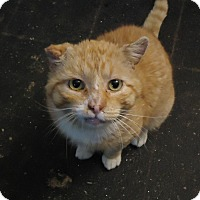 Domestic Shorthair Cat for adoption in Central Islip, New York - Nigel
