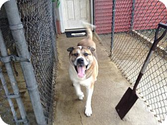 Akita/Rottweiler Mix Dog for adoption in Toms River, New Jersey - Shebaz (needs foster home)