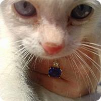 Siamese Kitten for adoption in Alhambra, California - Athena