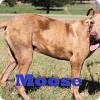 Adopt A Pet :: Moose - Blanchard, OK