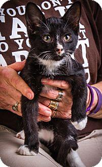 Domestic Shorthair Kitten for adoption in Anna, Illinois - DAMIEN