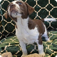 Spaniel (Unknown Type)/Pit Bull Terrier Mix Puppy for adoption in Brunswick, Maine - Kiki
