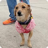 Dachshund/Terrier (Unknown Type, Small) Mix Dog for adoption in Seattle, Washington - Dobbie