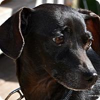 Adopt A Pet :: Dixie, 6 yrs, 14 pds, $150 fee - Spokane, WA