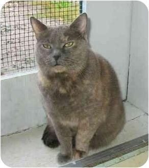 Domestic Shorthair Cat for adoption in Plainville, Massachusetts - Gracie