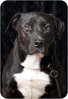 Labrador Retriever Mix Dog for adoption in Polson, Montana - Nox