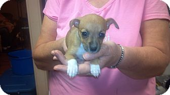 Chihuahua Puppy for adoption in Hazard, Kentucky - Peanut