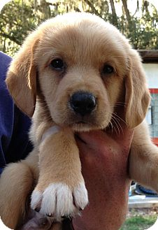 Australian Shepherd/Spaniel (Unknown Type) Mix Puppy for adoption in Gainesville, Florida - Pat
