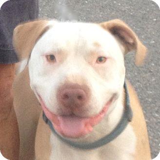 American Bulldog/American Staffordshire Terrier Mix Dog for adoption in Sacramento, California - Johnny