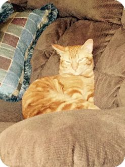 Domestic Shorthair Cat for adoption in Mesa, Arizona - Tabby