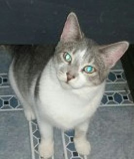 Domestic Shorthair Cat for adoption in Livonia, Michigan - Chrissy