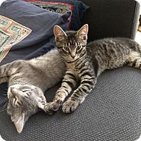 Adopt A Pet :: Nabi and Grigio - Chicago, IL