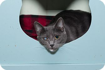 Domestic Shorthair Cat for adoption in Chicago, Illinois - Sammie