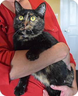 Domestic Shorthair Cat for adoption in Surrey, British Columbia - Miss Kitty