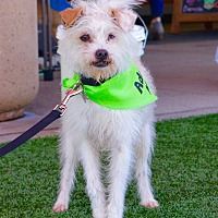 Terrier (Unknown Type, Small)/Fox Terrier (Wirehaired) Mix Dog for adoption in Los Angeles, California - TEDI