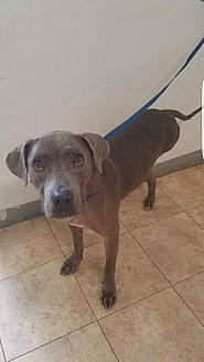 Labrador Retriever/Pit Bull Terrier Mix Dog for adoption in St John, Virgin Islands - Panchenella