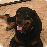 Rottweiler Dog for adoption in Gilbert, Arizona - Abby