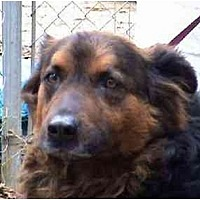 Shepherd (Unknown Type) Mix Dog for adoption in Tyler, Texas - L-Brook