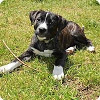Adopt A Pet :: Pebbles - Charlotte, NC