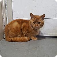 Domestic Mediumhair Cat for adoption in Port Huron, Michigan - Valintino