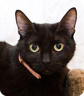 Domestic Shorthair Cat for adoption in Irvine, California - Teena