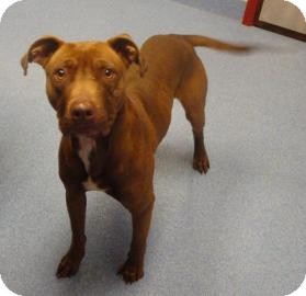 Pit Bull Terrier Mix Dog for adoption in Gainesville, Florida - Lloyd
