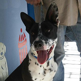 Australian Cattle Dog Mix Dog for adoption in Long Beach, California - Sparky