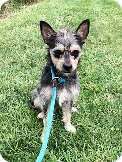 Terrier (Unknown Type, Small) Mix Dog for adoption in Mission Viejo, California - Draper