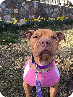 Pit Bull Terrier Mix Dog for adoption in Philadelphia, Pennsylvania - Charlotte