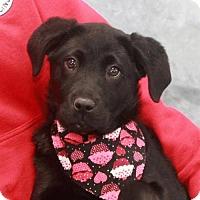 Adopt A Pet :: Stella-PENDING - Garfield Heights, OH