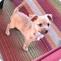 Adopt A Pet :: Zayne - Astoria, NY