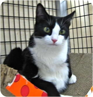 Domestic Shorthair Cat for adoption in Deerfield Beach, Florida - Topaz