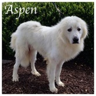 Great Pyrenees Dog for adoption in Newnan, Georgia - Aspen