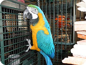 Macaw for adoption in Neenah, Wisconsin - Cordell