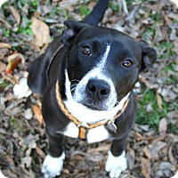 Adopt A Pet :: GIDGET - North Augusta, SC