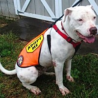 American Pit Bull Terrier Dog for adoption in Fredericksburg, Virginia - Maisy- Courtesy listing
