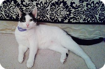 Domestic Shorthair Cat for adoption in Colmar, Pennsylvania - Alice (Clem)