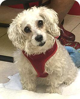 Schnauzer (Miniature) Dog for adoption in Boca Raton, Florida - Daley