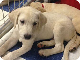 Labrador Retriever Mix Puppy for adoption in Redding, California - Kenley