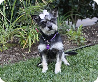 Yorkie, Yorkshire Terrier Mix Dog for adoption in Newport Beach, California - ABBIE