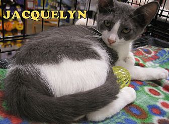 Domestic Shorthair Cat for adoption in Alhambra, California - Jacquelyn