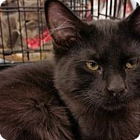 Adopt A Pet :: Licorice - St. Louis, MO